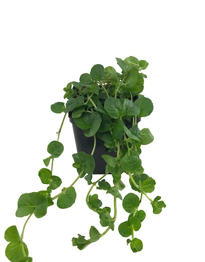 Lysimachia 'Green' - 4 inch