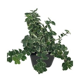 Euonymus f. 'Emerald Gaiety' - 4 inch