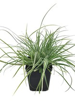 Carex 'Everest' - Quart