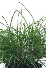 Thuja plicata 'Whipcord' - 1 gal