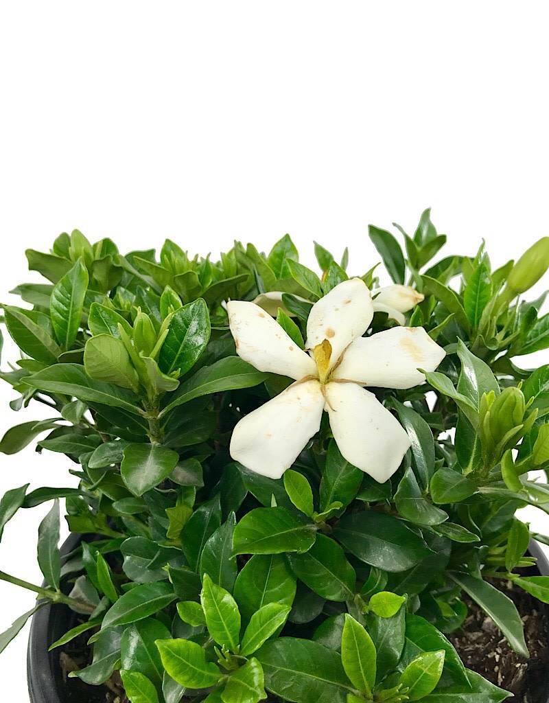 Gardenia jasminoides 'Sweet Tea' - 2 gal