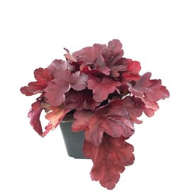 Heuchera 'Fire Alarm' 1 Gallon