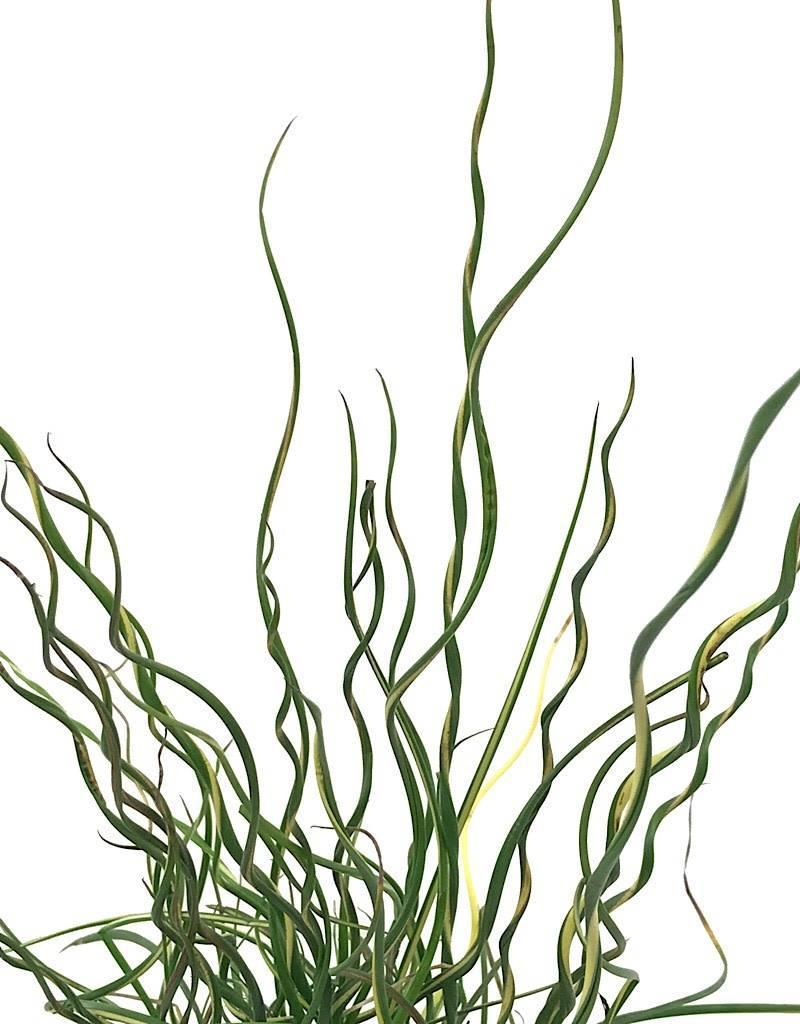 Juncus Effusus 'Lemon Swirl' - 4 inch