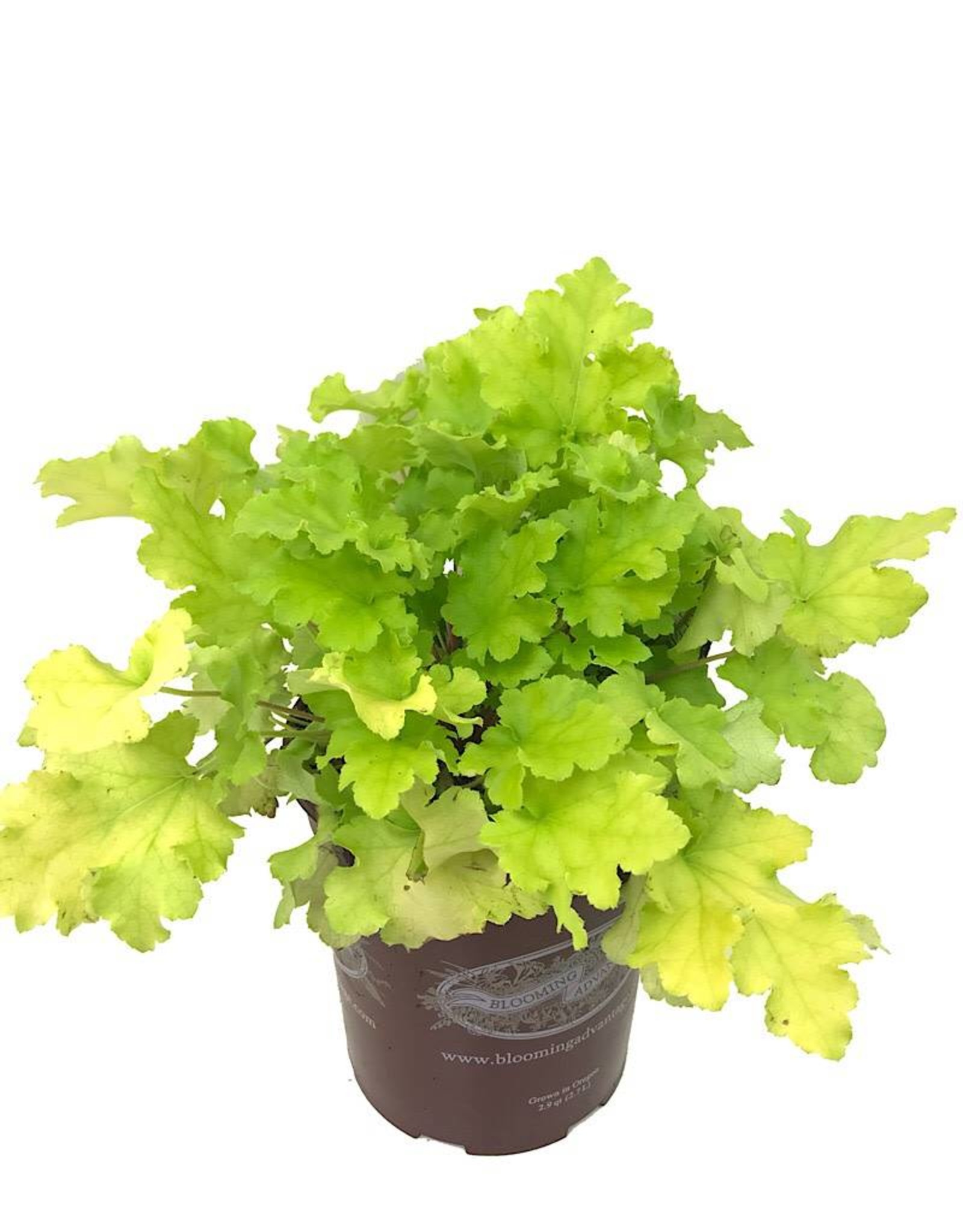 Heuchera 'Lime Marmalade' 1 Gallon