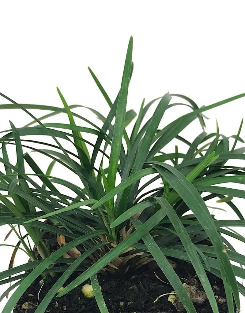 Ophiopogon j. 'Nanus' - 4 inch