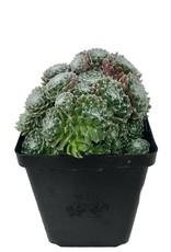 Sempervivum 'Spumanti' - 4 inch