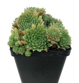 Sempervivum 'Red Nails' - 4 inch