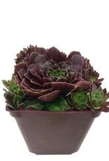 Sempervivum 'Rubikon' - 4 inch
