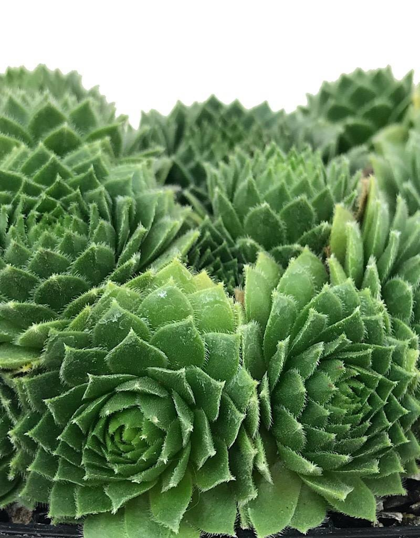 Sempervivum 'Green Wheel' 4 Inch