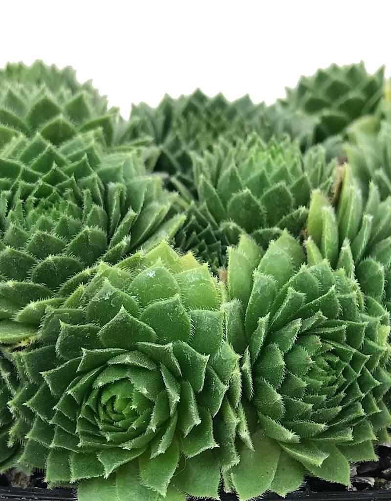 Sempervivum 'Green Wheel' - 4 inch