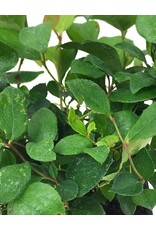 Gaultheria shallon 4 Inch