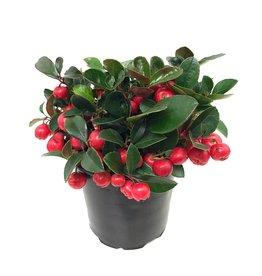 Gaultheria procumbens 4 inch