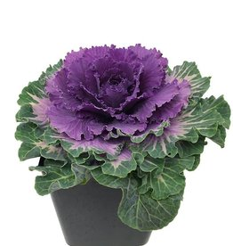Cabbage 'Pigeon Red' - 1 Gal