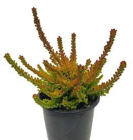Calluna vulgaris 'Zoe' - 4 inch