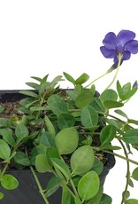 Vinca minor 'Bowles'- 4 inch
