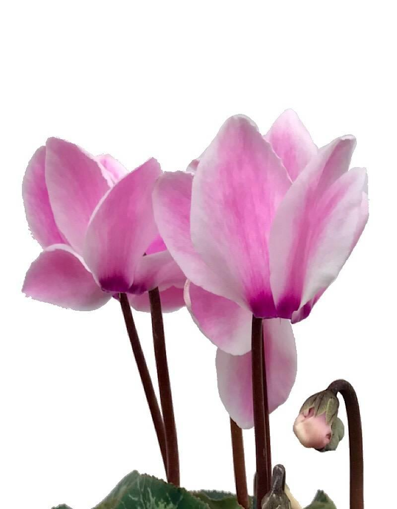 Cyclamen 'Laser Synchro Pink Flame' - 4 inch