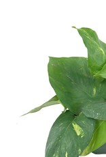 Pothos 'Golden' - 4 inch