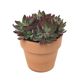 Echeveria 'Devotion' Planter - 5 inch