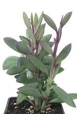 Senecio crassilimus - 4 inch