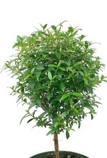 Myrtle Ball Topiary - 4 inch