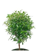 Myrtle Ball Topiary 4 Inch