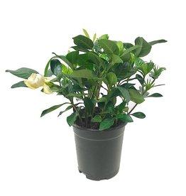 Gardenia j. 'Veitchii' - Quart