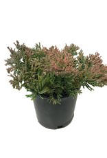 Juniperus horizontalis 'Mother Lode' - 4 inch