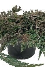 Juniperus h. 'Pancake'- 4 inch