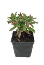 Euphorbia 'Ascot Rainbow' - 4 inch