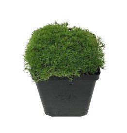 Scleranthus uniflorus - 4 inch