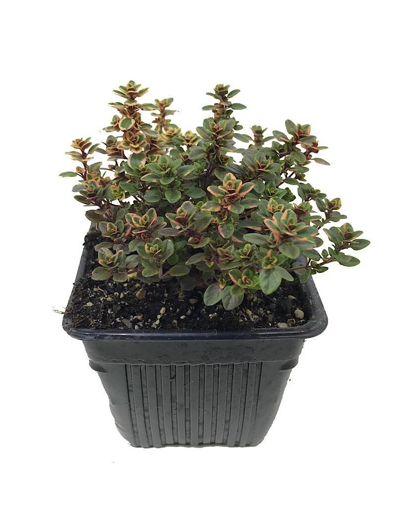Thymus v. 'Lemon Variegated' - 4 inch