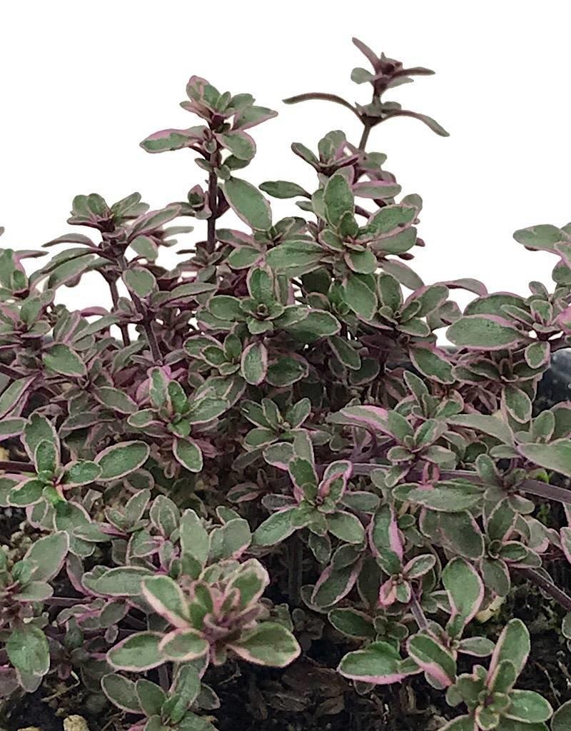 Thymus v. 'Silver' - 4 inch