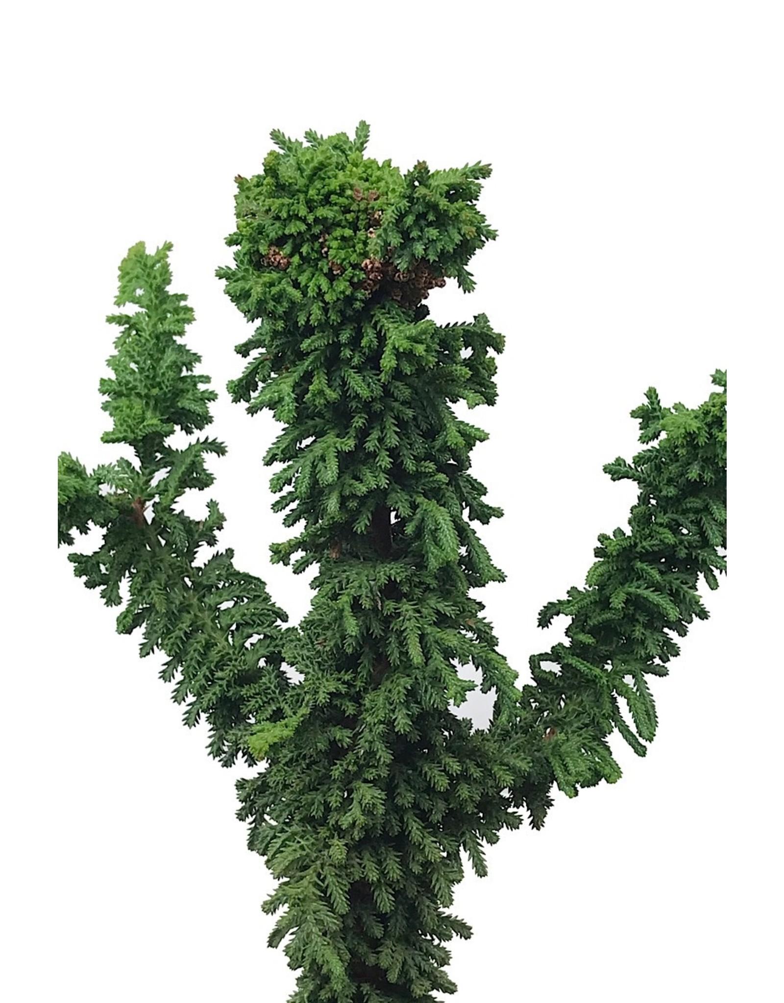 Chamaecyparis obtusa 'Chirimen' 4 Inch