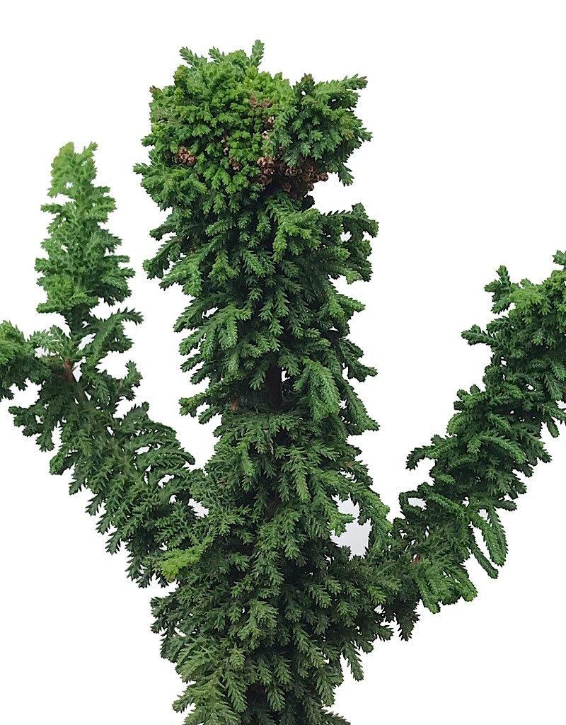 Cham. obtusa 'Chirimen' - 4 inch