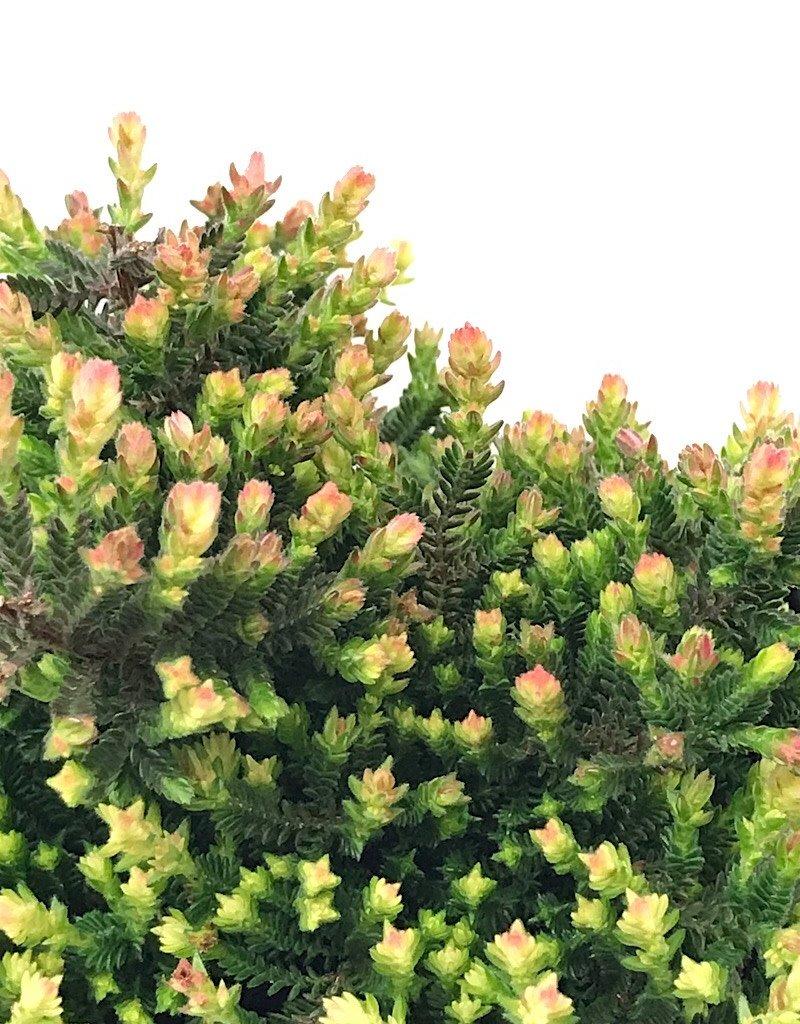 Calluna vulgaris 'Kerstin' - 4 inch