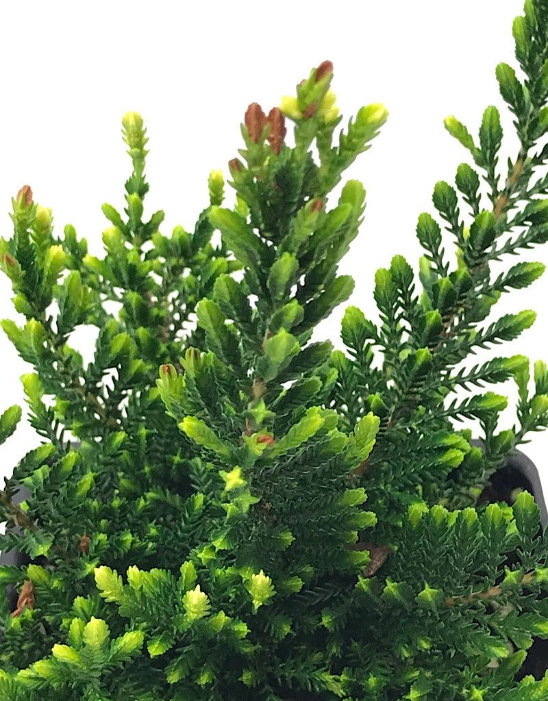 Calluna vulgaris 'Spring Cream' - 4 inch