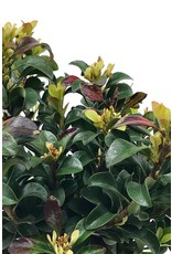 Rhaphiolepis umbellata 'Southern Moon' 1 Gallon