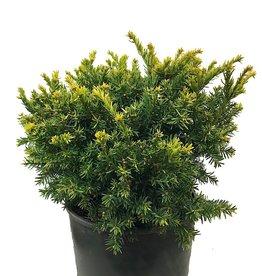 Taxus cuspidata 'Nana Aurescens' - 3 gal