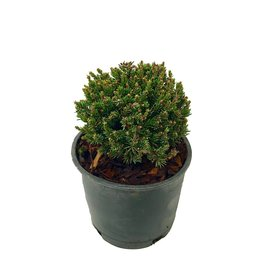 Picea glauca 'Blue Planet' - 4 inch