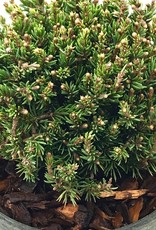 Picea glauca 'Blue Planet' - 4 inch