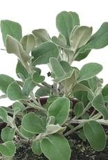 Senecio greyi - 1 gal
