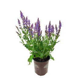 Salvia 'Swifty Violet Blue' 1 Gallon
