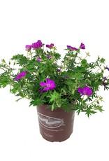 Geranium 'New Hampshire' - 1 gal