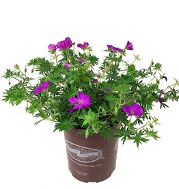 Geranium 'New Hampshire' - 1 gal