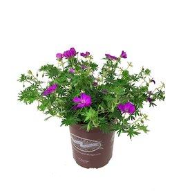 Geranium 'New Hampshire' 1 Gallon