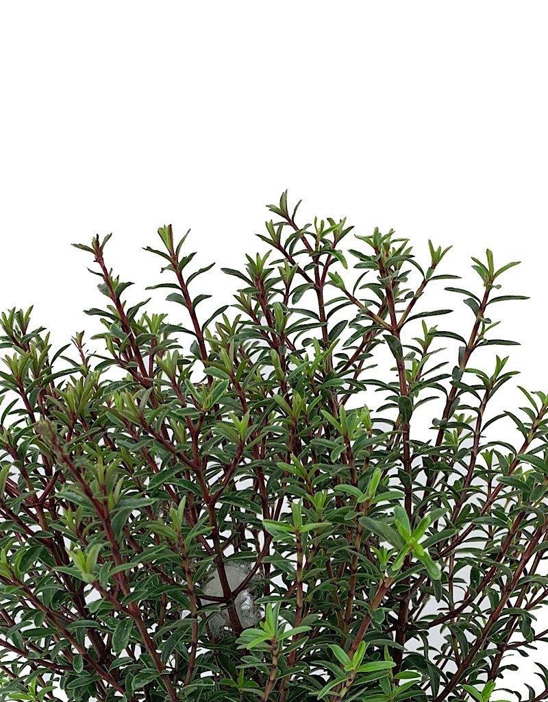 Hebe 'Purpurea Nana'- 1 gal