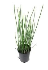 Equisetum hyemale 1 Gallon
