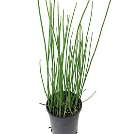 Equisetum hyemale - 1 gal