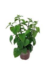 Salvia g. 'Black and Blue' - 1 gal