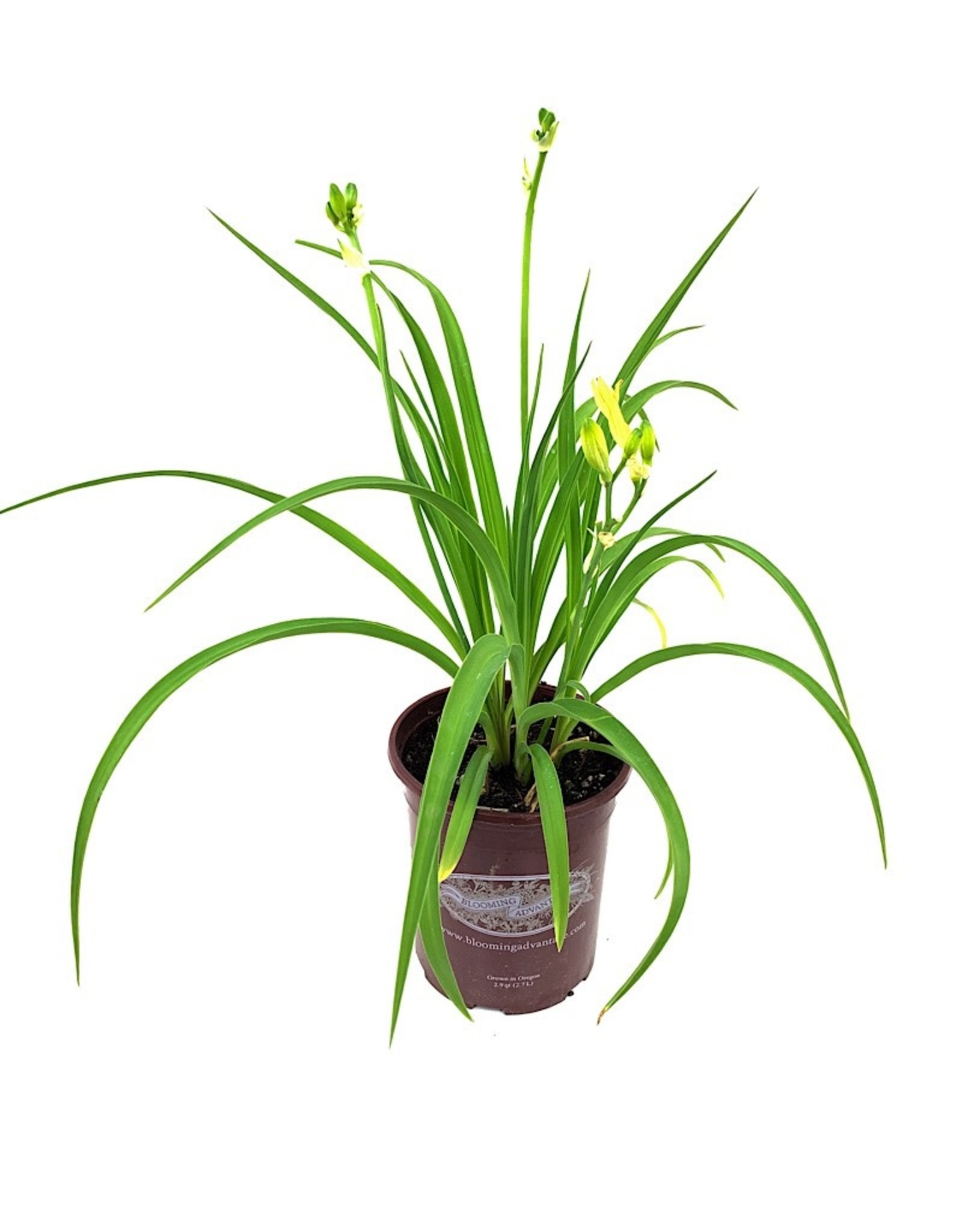 Hemerocallis 'Happy Returns' 1 Gallon